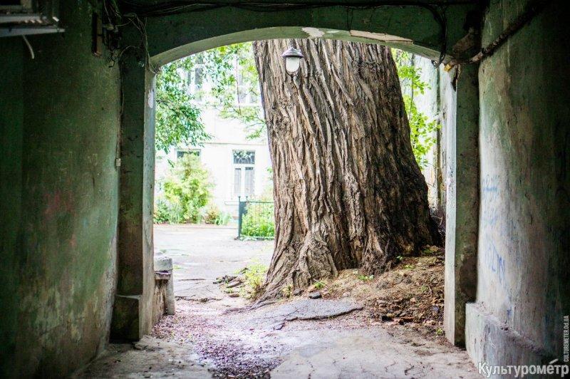 """В Одессе пилят """"Пушкинский тополь"""" – самое большое дерево в городе"""