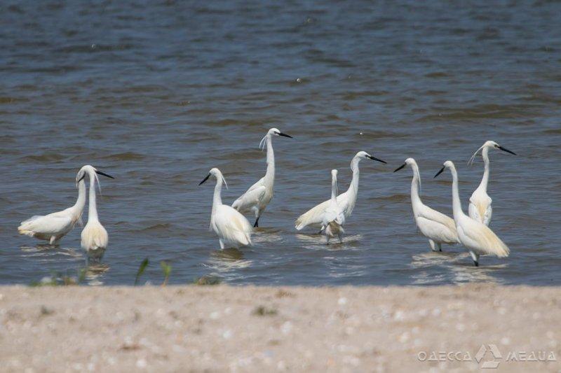 В нацпарк «Тузловские лиманы» из Африки прилетели белые цапли