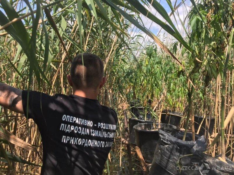 Одесская Госпогранслужба: 8 обысков, 500 кустов «зелья», 7 кг каннабиса (фоторепортаж, видео)
