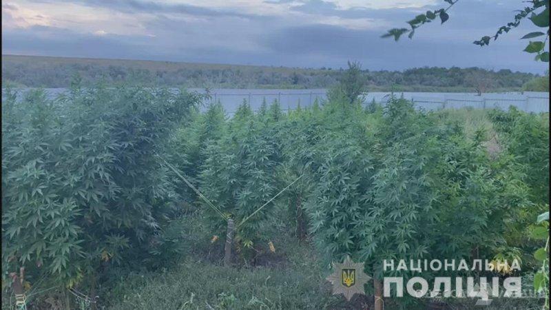 «Товар» на рынок не попадет: в Одесской области обнаружили плантацию конопли (фото, видео)
